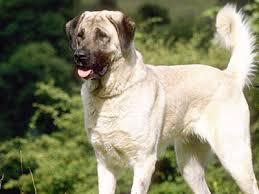 belgian sheepdog hypoallergenic large u0026 big dog breeds large dog list