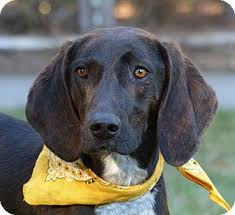 bluetick coonhound rescue nc mocksville nc treeing walker coonhound plott hound mix meet