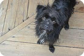 affenpinscher dogs for sale bean adopted dog denver co affenpinscher terrier unknown