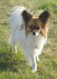 papillon breed information and pictures