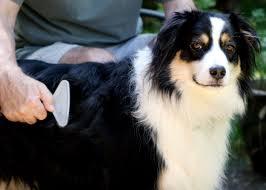 australian shepherd kalamazoo animal health u2013 kalamazoo humane society