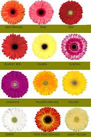 gerbera colors gerberra varieties