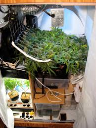 the perpetual harvest how to never run out of weed grow weed easy