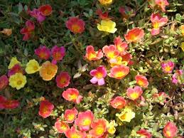 purslane good heat resistant plant garden pinterest plants