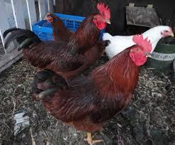 photos los angeles urban chicken enthusiasts los angeles ca