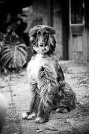 afghan hound puppies ohio afghan hound afghan hounds pinterest afghans and afghan hound