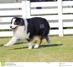 images of australian shepherd beautiful australian shepherd walking stock photos image 30071883