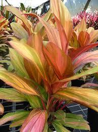 ti plant hawaiian ti plant growing cordyline fruticosa