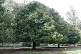 buy american chestnut tree dunstan free shipping 99 99