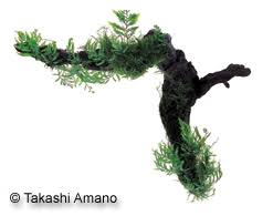 Aquascaping With Driftwood Driftwood Q U0026a With Takashi Amano