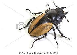 was ist das für ein insekt eine wanze oder was urlaub insekten käfer odontolabis wanze gattung insekt odontolabis