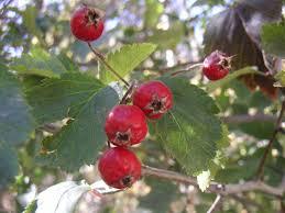 native utah plants wyoming u0027s native crataegus tree u2013 wyoming life