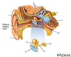 anatomy of the inner ear gallery learn human anatomy image