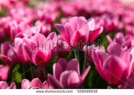 Images Of Tulip Flowers - tulip stock images royalty free images u0026 vectors shutterstock