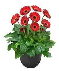 gerbera plant buy hardy perennials now gerbera garvinea sweet ruby bakker