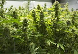 Challenge Plant Pot Pot Advocates Challenge Mendocino County Cannabis Tax