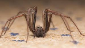 How To Keep Spiders Out Of Your Bed Spiders Crawl Across Your Face As You Sleep In Sydney The