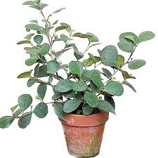 where to buy mistletoe mistletoe fig ficus deltoidea