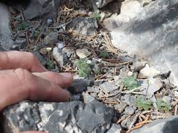 native nevada plants las vegas native plants ask an expert