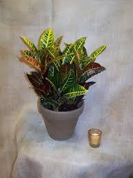 bellevue florist croton plant in bellevue ne bellevue florist