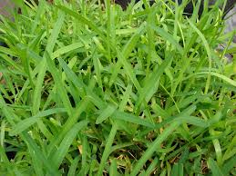 Type Of Grass For Garden Best Grass For Lawns In Missouri Eclectic Wallpaper Ideas