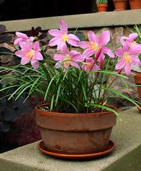 How To Grow A Bulb In A Vase Bulbs In Pots