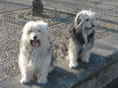 bearded collie x terrier this is my papageno a wheaten terrier bearded collie mix was
