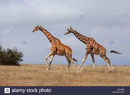 reticulated giraffe giraffa camelopardalis reticulata two