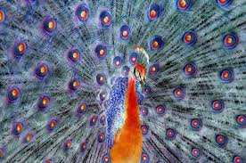 ncfpc gallery 2010 june creative forwen delarosa creative peacock