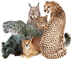 What do domestic cats have in common with wild cats...