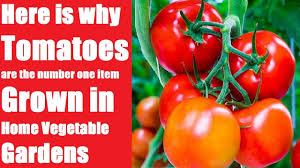Home Vegetable Gardens by Here Is Why Tomatoes Are The Number One Item Grown In Home