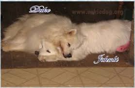 american eskimo dog in summer american eskimo dog photos pictures of eskies