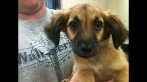 puppies dorgi queen elizabeth corgi puppies please enable