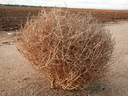 tumbleweed co horts weed of the moment kochia