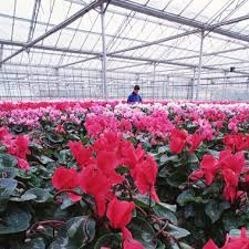 Winter Indoor Garden - 52 best cyclamen images on pinterest plants indoor plants and flora