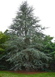 blue atlas cedar tree tlc garden centers