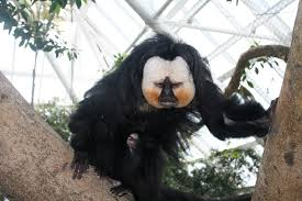 white faced saki monkey chad shanks make your engineering resume stand out codefight on