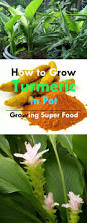 growing turmeric in pots how to grow turmeric care uses