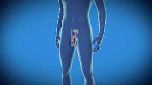 Male Anatomy Video Male Anatomy Human Prostate Scan Stock Footage Video 10376096
