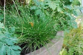 ornamental grasses dirt simple