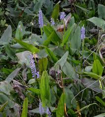 native illinois plants bayou teche national wildlife refuge bayou woman