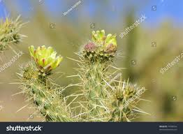 blooming cactus yellow flowers anza borrego stock photo 74198554