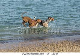 bluetick coonhound off leash coonhound stock images royalty free images u0026 vectors shutterstock