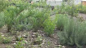mn native plant society mulefat wins the sculptural ca native plant award of the month