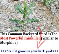 How To Cut Weeds In Backyard Similar To Morphine The Best Natural Painkiller That Grows In