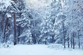 cold day in the snowy winter forest stock photo picture and royalty