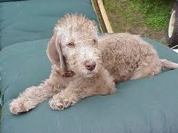 bedlington terrier guide dog breeds that start with u0027b u0027 pets world