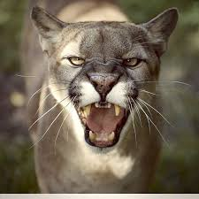 best 25 mountain lion pictures ideas on pinterest mountain lion