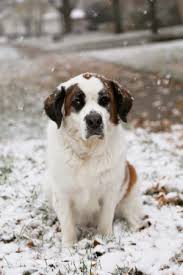 10 best cold weather dog breeds for a family with children