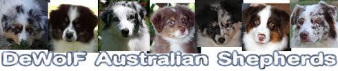 australian shepherd wolf dewolf australian shepherds